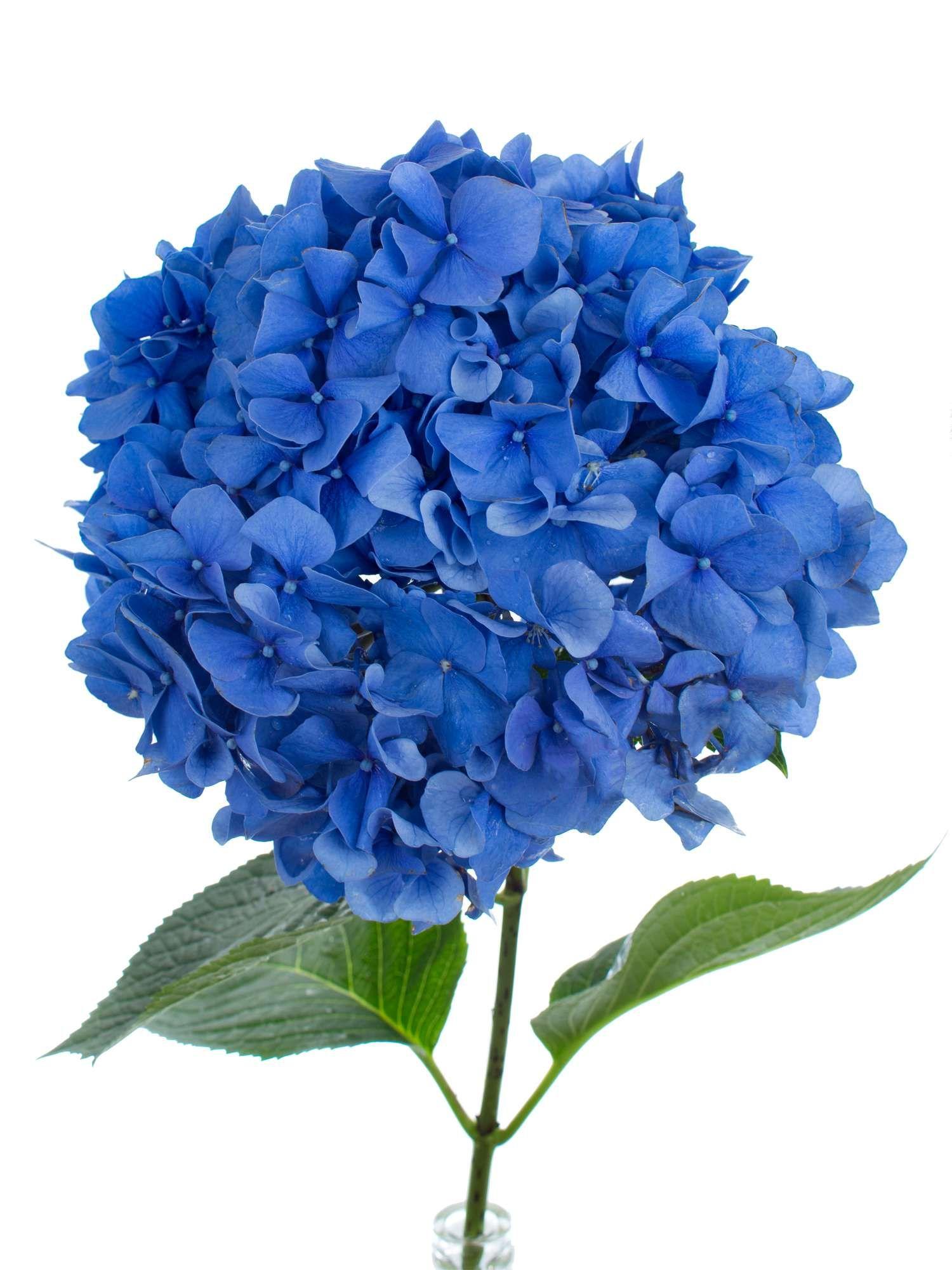 Hortensie Pimpernel blau  a Hydrangeas  Pinterest