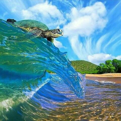 Surfer Sea Turtle Ocean animals, Sea animals, Baby turtles