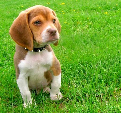 Official Site Cute Beagles Cute Puppies Beagle Puppy