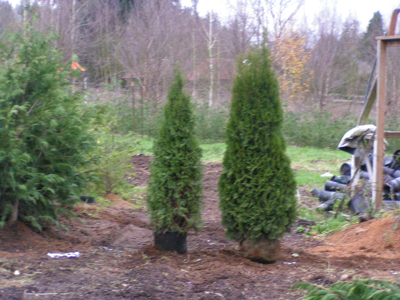 emerald green arborvitae what you need to know back of the yard