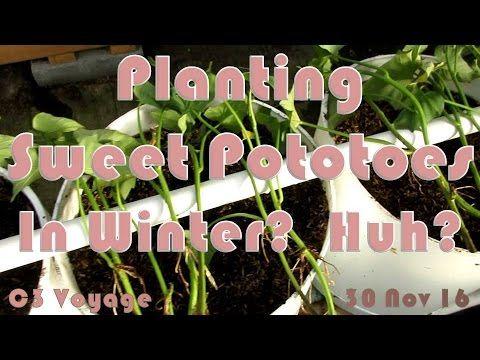 Growing Sweet Potatoes in Winter?? #gardening #garden #DIY #home #flowers #roses #nature #landscaping #horticulture