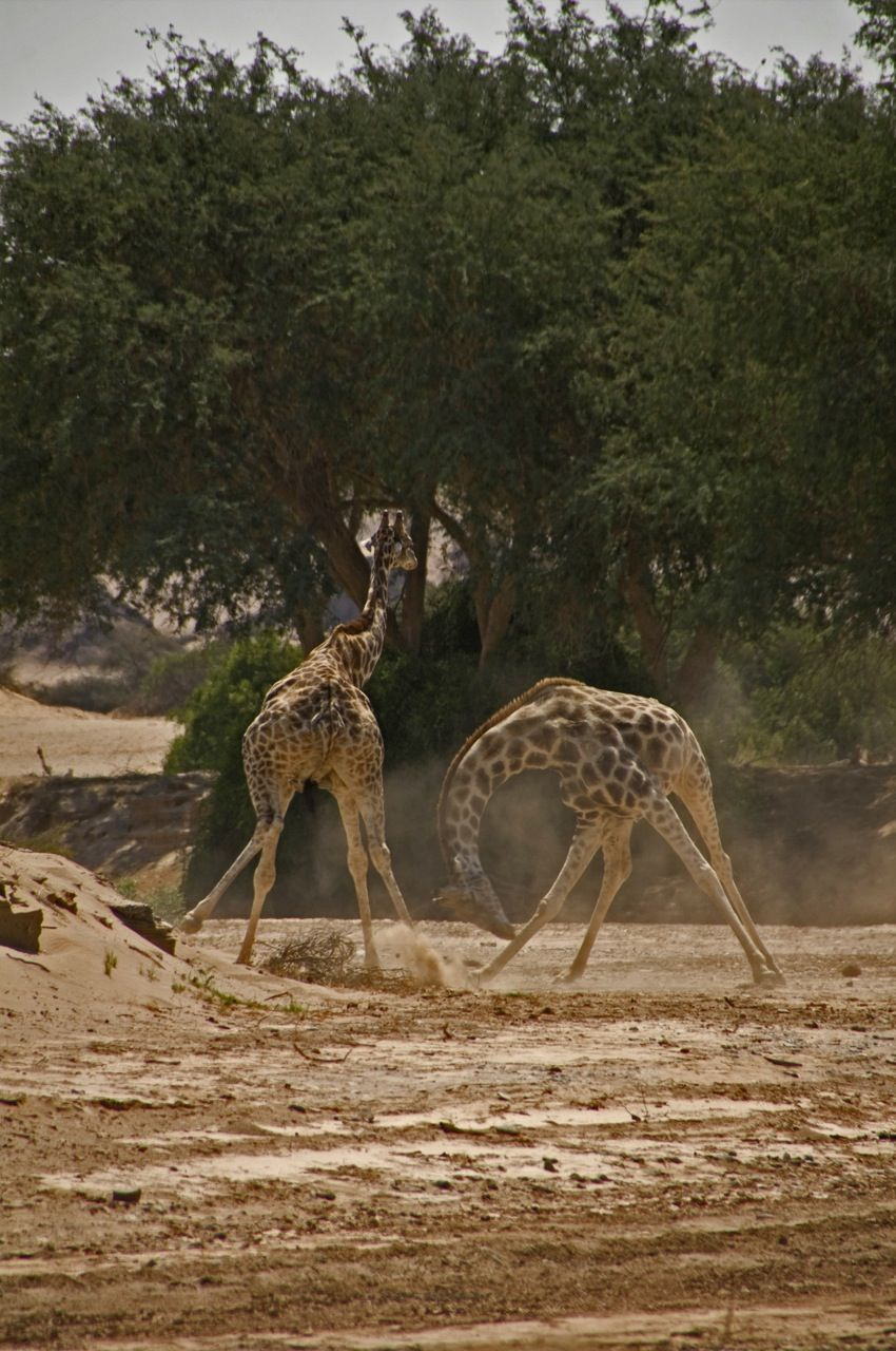 The less friendly sight of two giraffes fighting for the