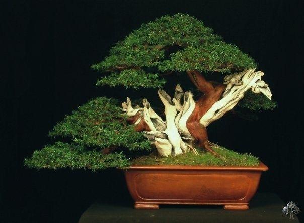 Taxus baccata bonsai bonsais pinterest g rten for Bonsai hydrokultur