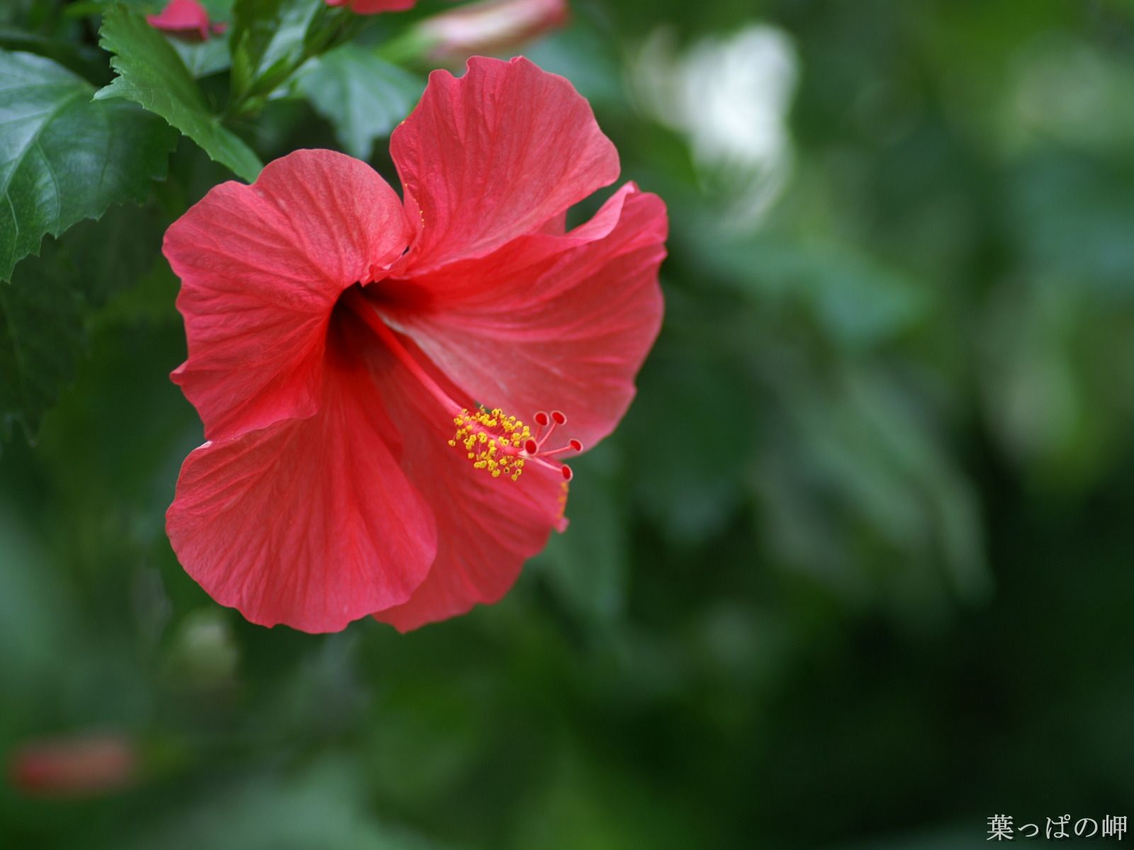 Red Hibiscus Flowers High Resolution Wallpapers Images