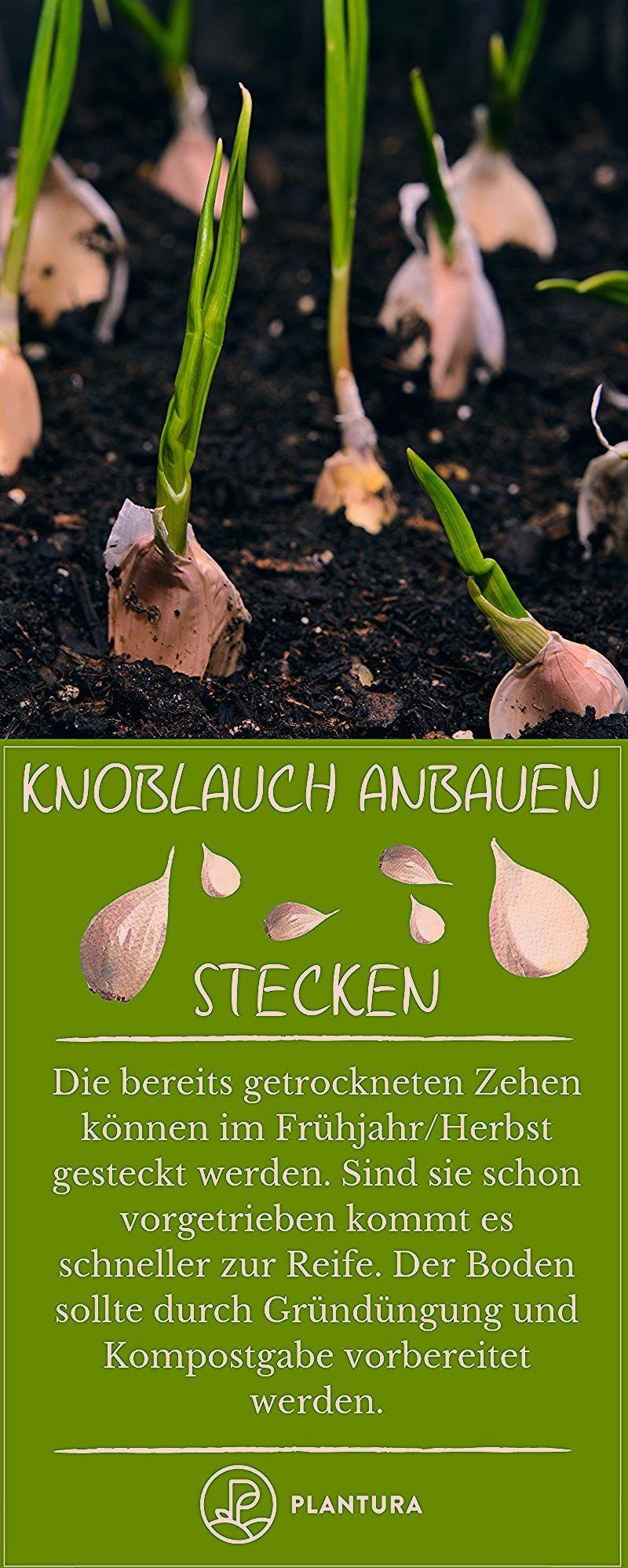 Photo of Knoblauch anbauen: Stecken, pflanzen und ernten