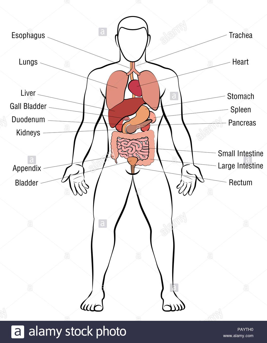 medium resolution of picture internal organs internal organs male body schematic human anatomy illustration
