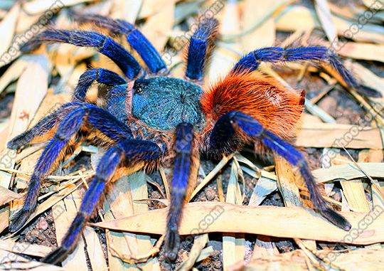green bottle blue tarantula - Google Search | Animal Life ...