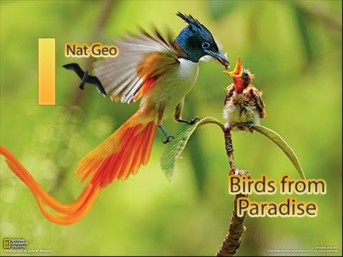 National Geographic Unkown Species of Birds Of Paradise Nat Geo Documentary
