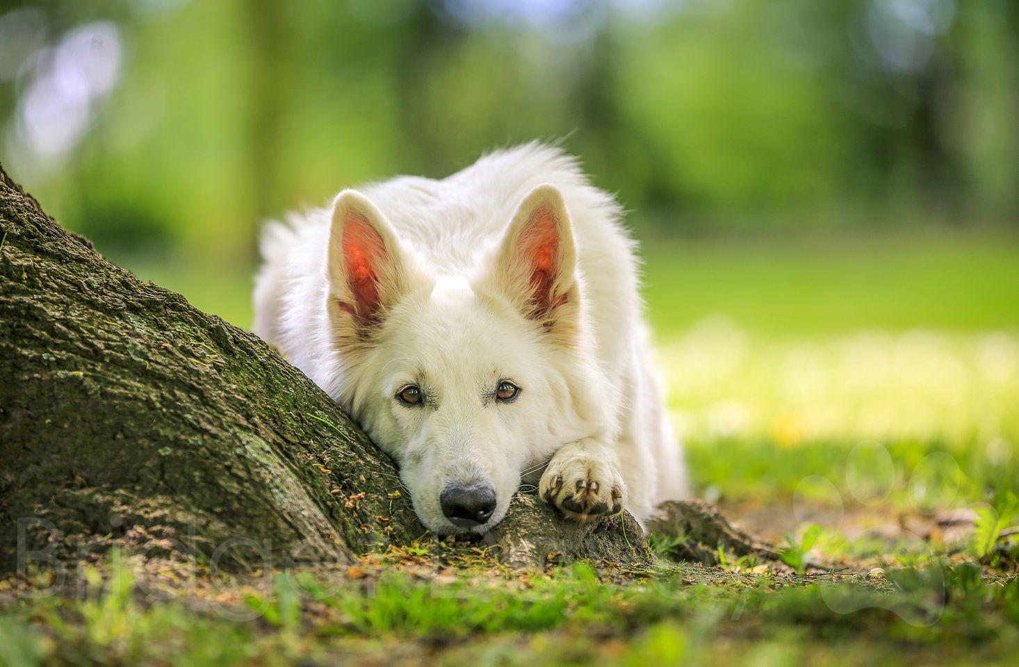 Professional Dog Photography Bedfordshire London Buckinghamshire And Hertfordshire Professional Dog Photography White German Shepherd Dog Photography