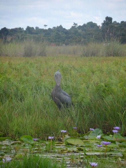 Shoebill Stork at Mabamba Swamp, near Kampala, Uganda. Like stepping back to the jurassic period!! Honeymoon ♡
