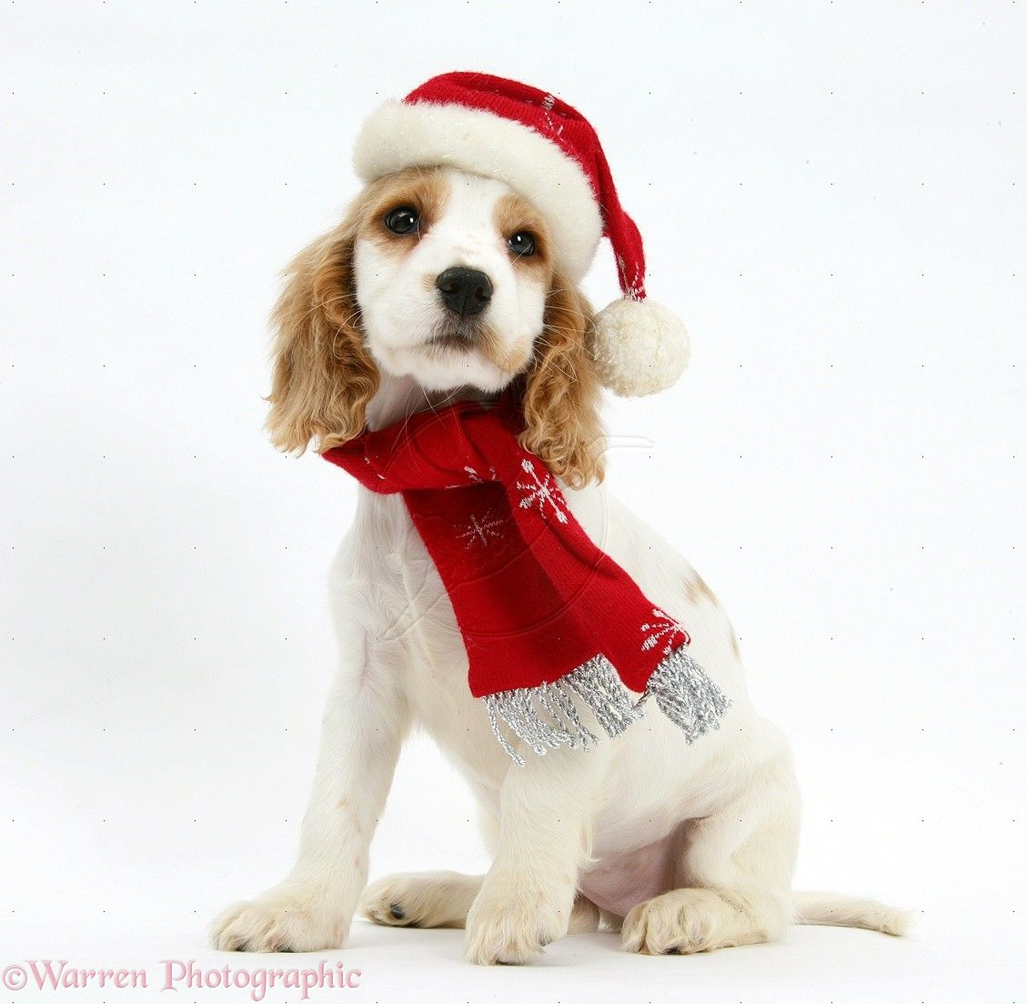orange roan cocker spaniel christmas puppy holiday dogs