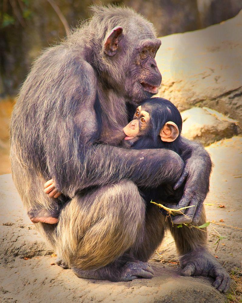 Mama and Baby Chimpanzees