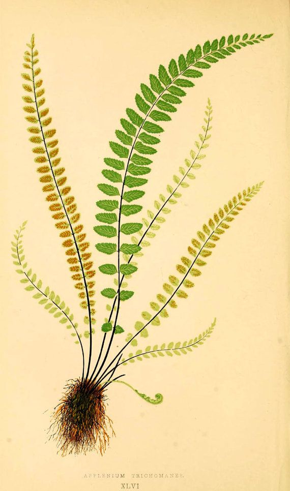Vintage E. J. Lowe Fern Art Print - Botanical Wall Art - Beautiful ...