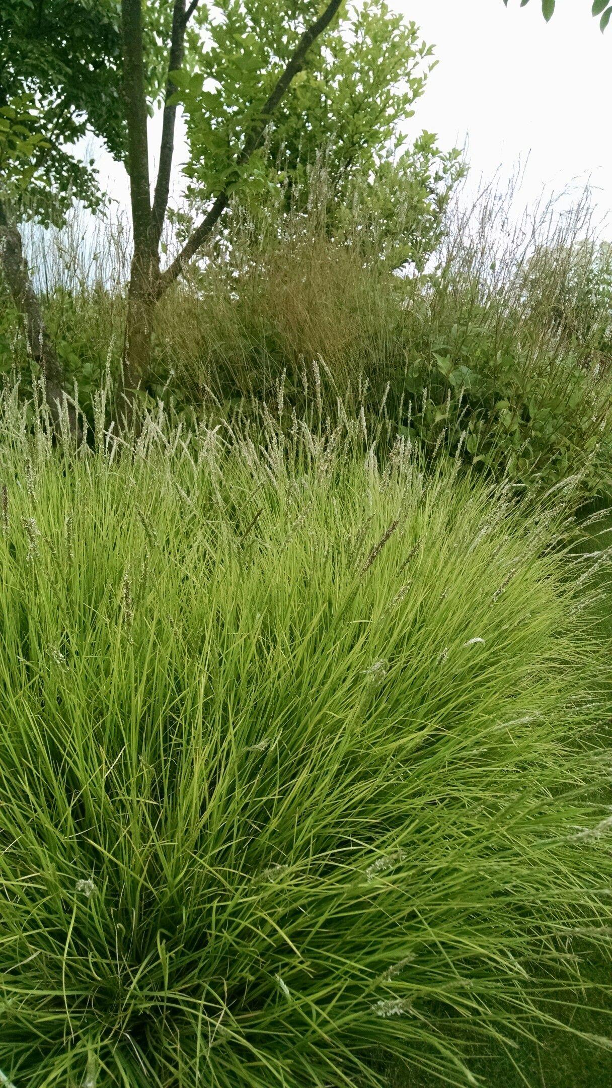 Carex vlinderhof gramineus pinterest grasses and gardens