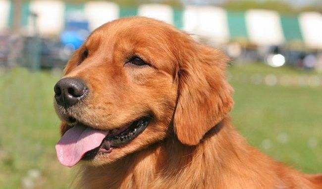 Dark Red Golden Retriever Puppies For Sale Cute Puppies