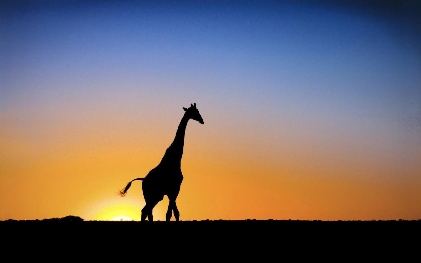 Pin By Setayesh Asgari On Silhouettes Giraffe Pictures Giraffe Images Giraffe