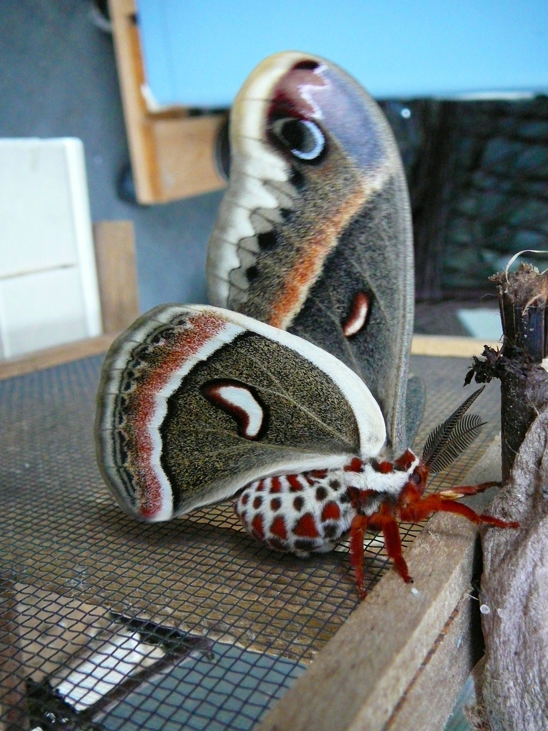 The Cecropia Moth is a beautiful creature seldom seen by the average citizen.