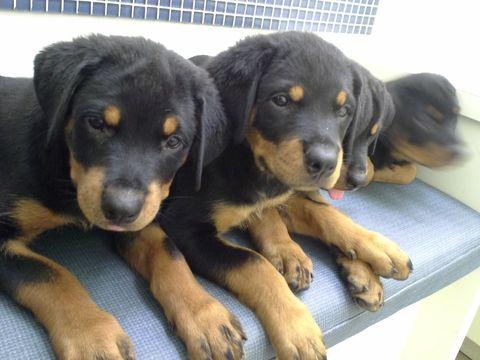 Litter Of 6 Rottweiler Puppies For Sale In Miami Beach Fl Adn