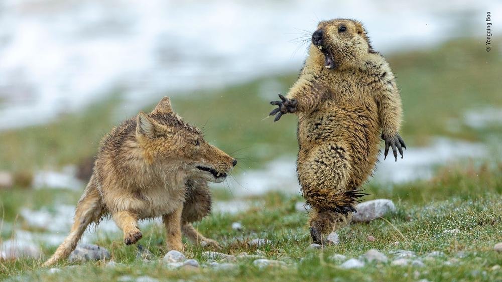 Wildlife Photographer Of The Year 2019 Natural History Museum In 2020 Wildlife Photography Tibetan Fox Wildlife