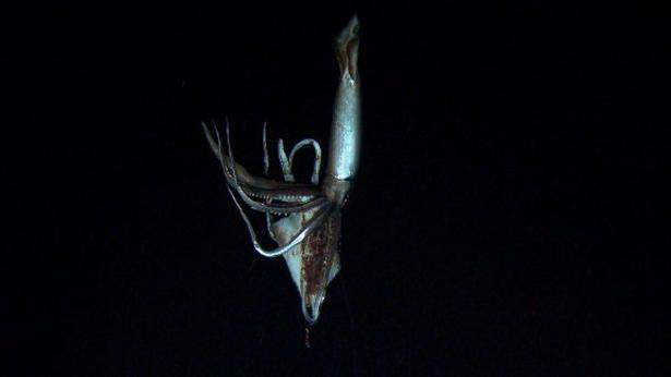 The Kraken wakes: First images of giant squid filmed in deep ocean - thestar.com