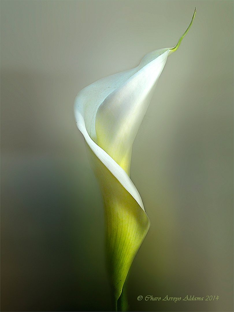 Essence calla by charo arroyo on 500px 995 charo arroyo essence calla by charo arroyo on 500px 995 izmirmasajfo
