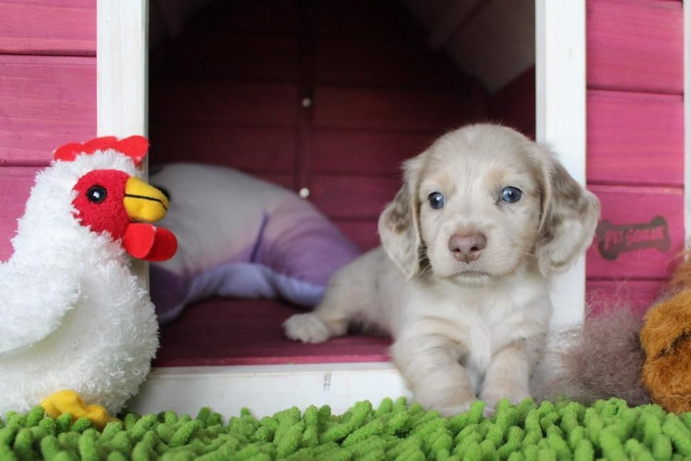 Long Haired Weimaraner Puppies For Sale Near Me References