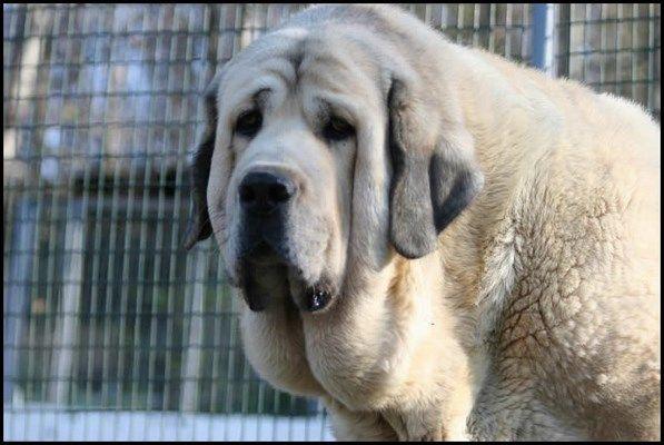 El Mastín español es una raza de perro guardián de ganado de gran tamaño originaria de España, donde fue abundante en casi todo el territorio.