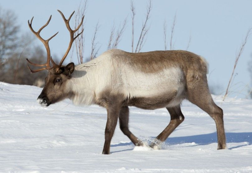 15 Intriguing Animals That Start With The Letter R Animals Reindeer Photo Reindeer