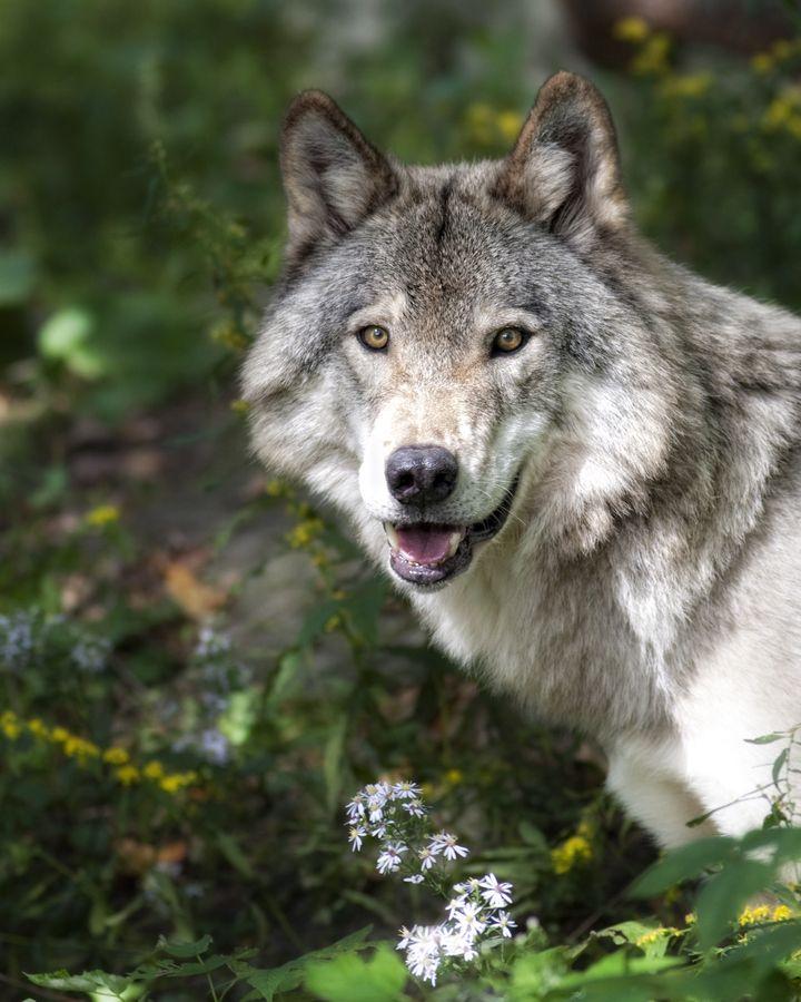 Dominant - Grey Wolf