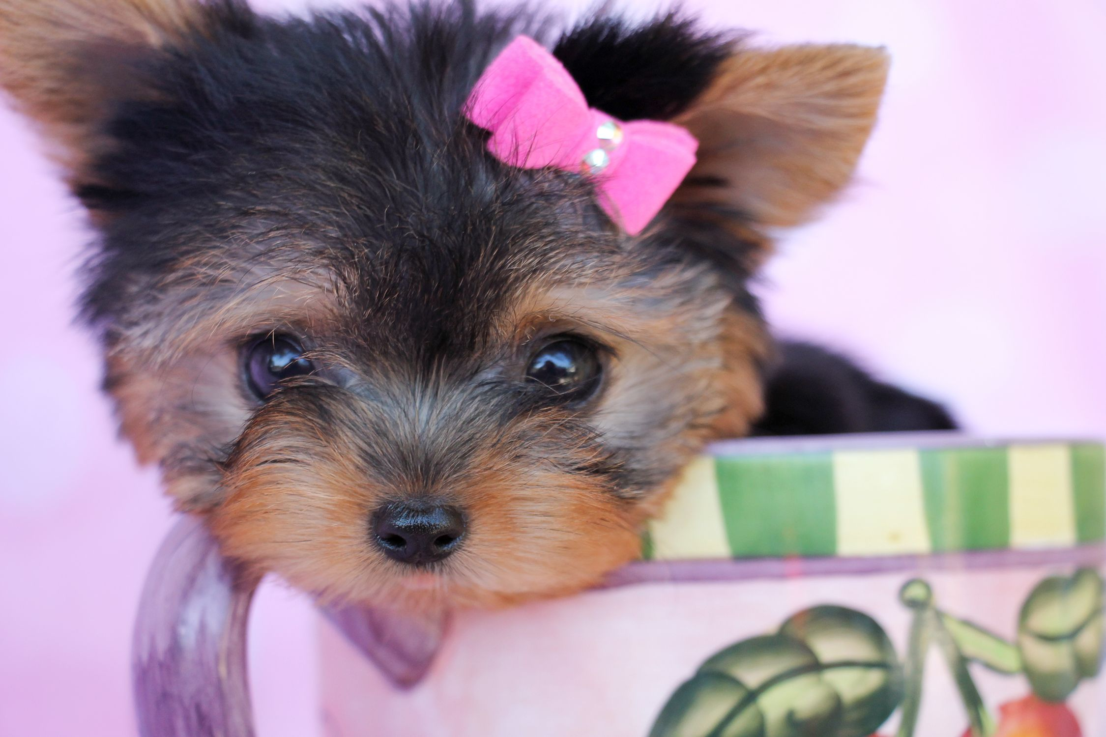 Tiny Teacup Yorkie Puppy by TeaCups, Puppies & Boutiqe