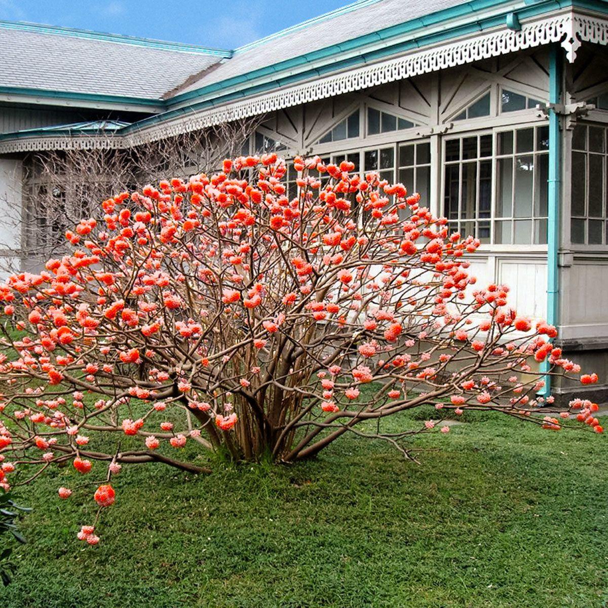 Japanischer papierstrauch red dragon pflanzen b ume for Pflanzen japanischer garten