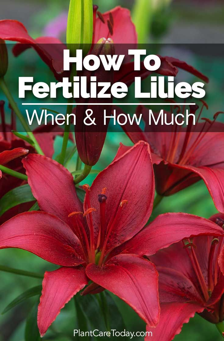 How to fertilize lilies when u how much oriental organic and easter