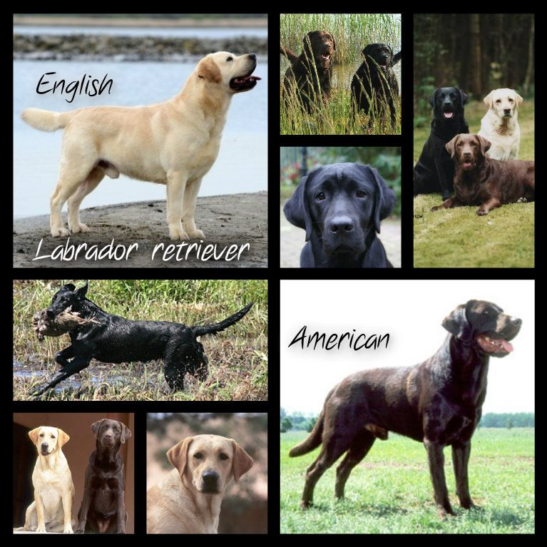 Labrador Retriever English Type Above American Type Below The English Lab Is Sturdier Broader And Hea English Labrador American Labrador Labrador Retriever