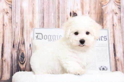 Bichon Frise puppy for sale in BEL AIR, MD. ADN69504 on