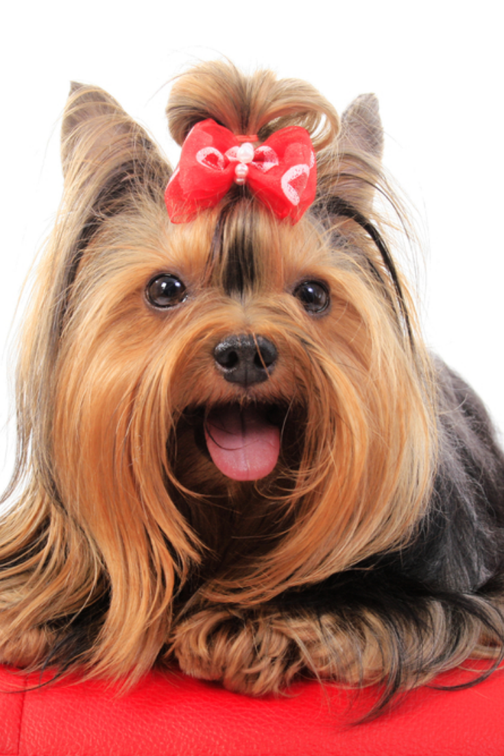 Long Hair Yorkshire Terrier Sweet Eyes With Little Tongue Smiling And Looking To The Camera Dog Wearing Red Yorkshire Terrier Puppies Yorkshire Terrier Terrier