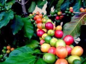 Existen más de 15 mil millones de plantas de café distribuidas en alrededor de 80 países del Mundo, específicamente en áreas tropicales y subtropicales.