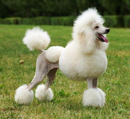 Poodle Grooming Smartest Dog Breeds Dog Breeds Best Dog Breeds