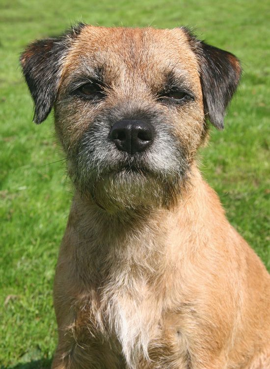 Though Sometimes Stubborn And Strong Willed Border Terriers Are