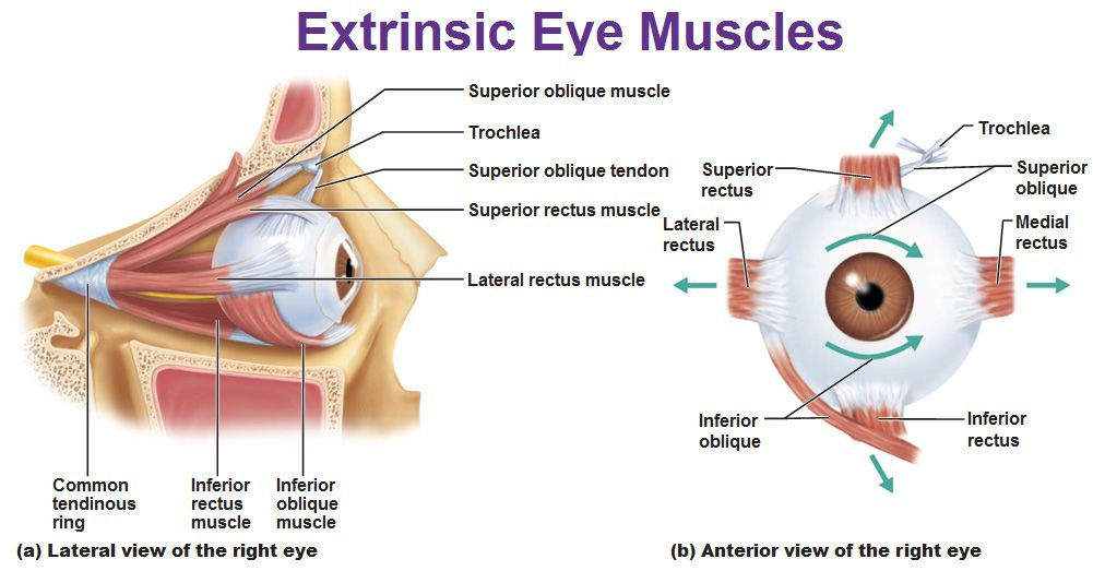 extrinsic eye muscles rectus trochlea oblique medial superior ...
