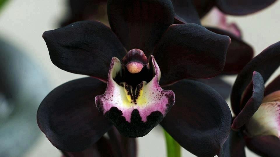 Very Rare Species Black Orchid Flores Orquideas Orquidea Negra Orquideas Raras