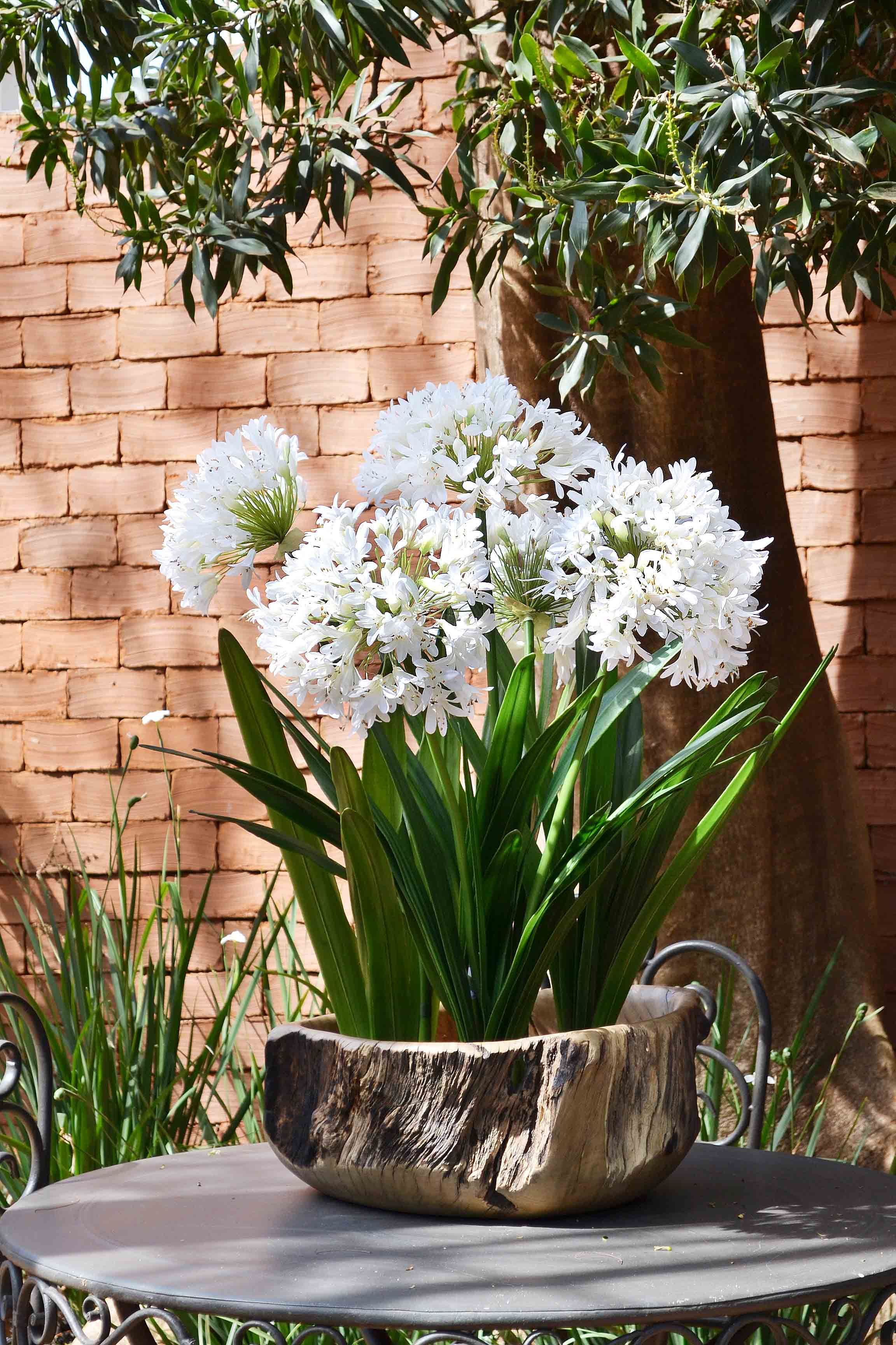 Agapanthus Agapanthuswhite Flowerscontainer Gardeninghanging