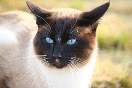 Katze, Siamkatze, Siamese, Kater