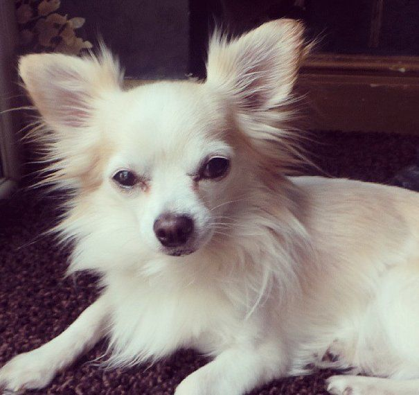 Cream Long Haired Chihuahua Chihuahua Long Haired Chihuahua Dog Quotes