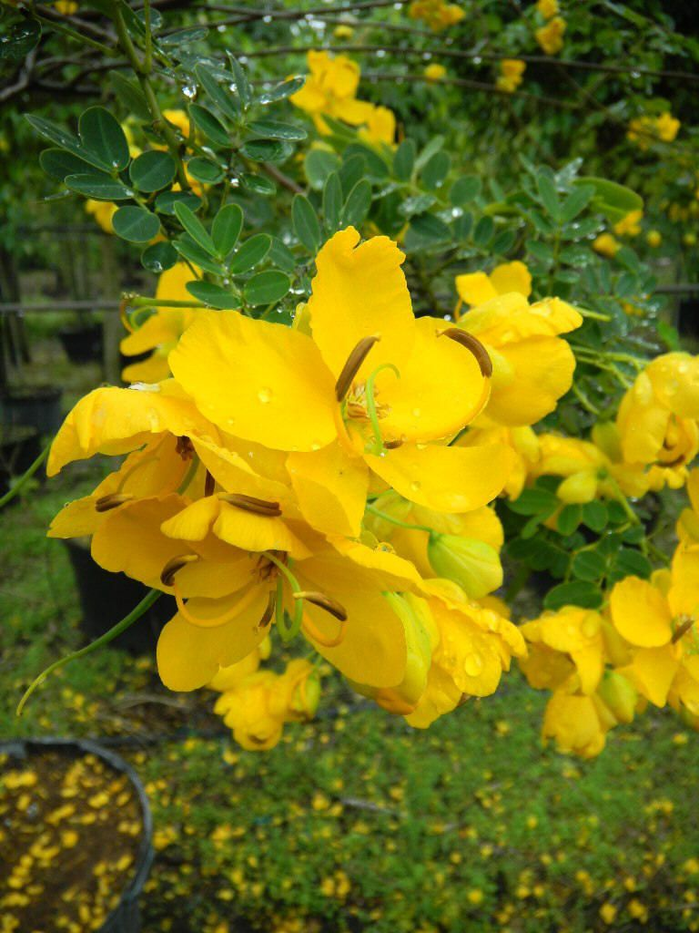 Yellow Flowering Trees In Florida Plant Type Deciduous Small
