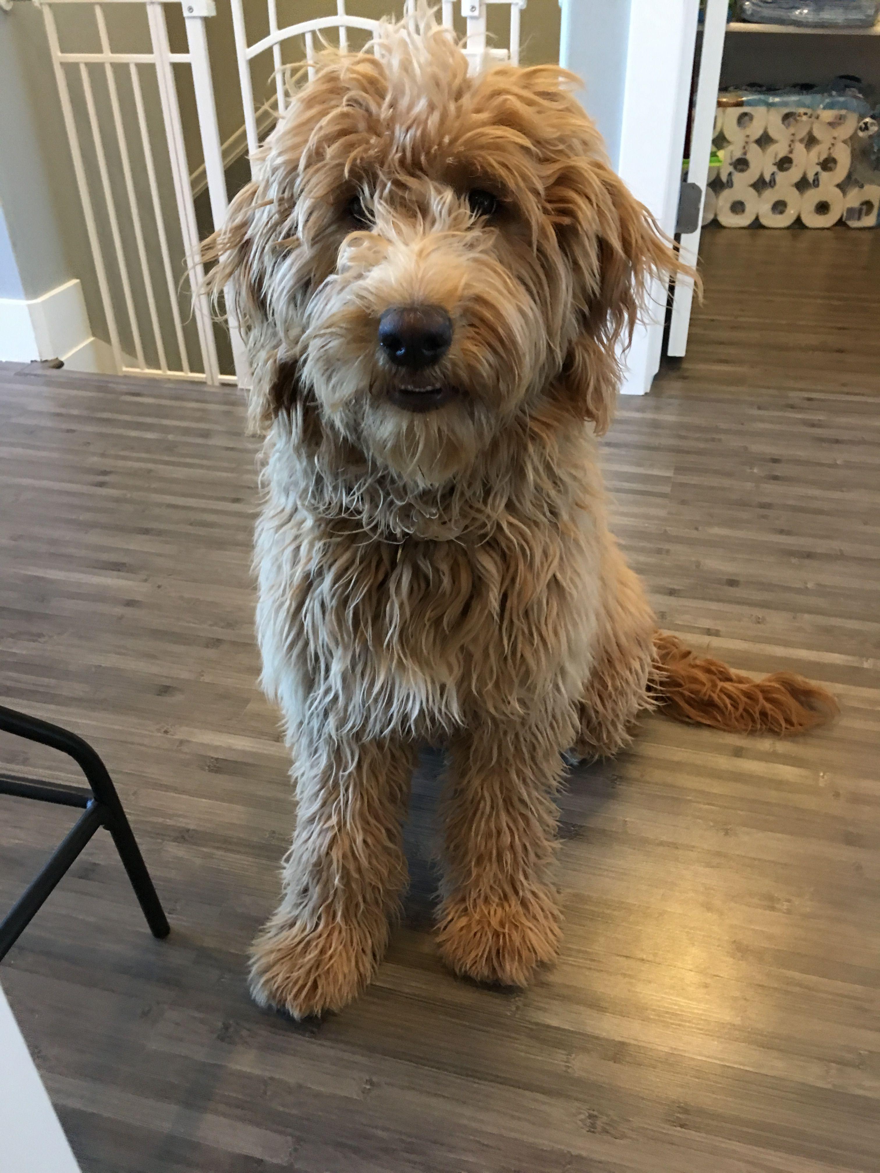 Golden doodle Doodle dog, Australian labradoodle, Dog photos