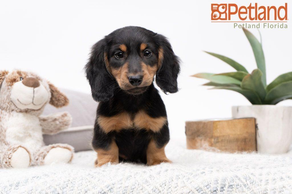 Puppies For Sale Dachshund Puppies Puppies Dachshund Puppies