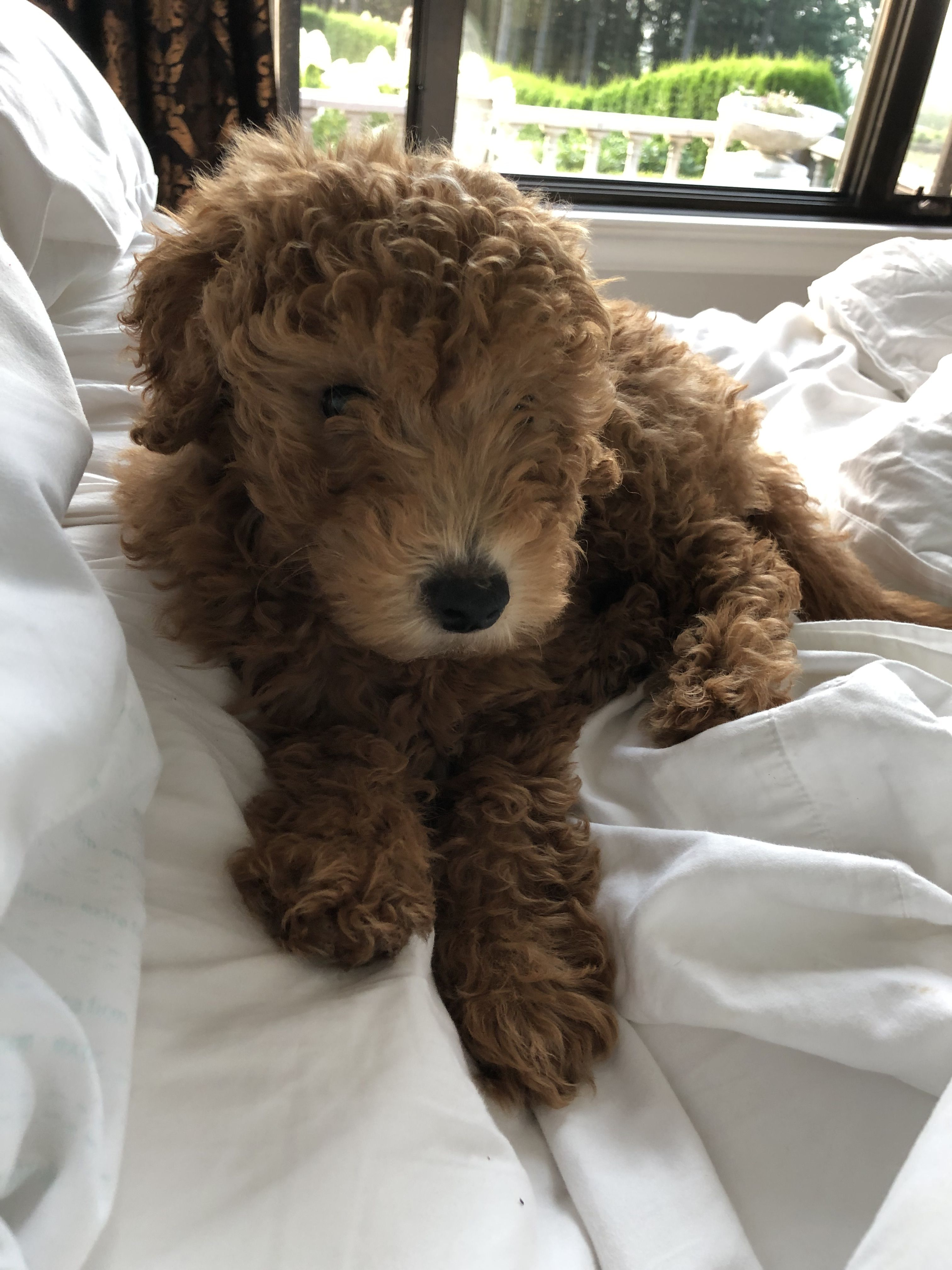 Chihuahua Poodle Mix Meet The Cheerful Chipoo Pup In 2020 Chihuahua Poodle Mix Poodle Puppy Dog Breeds