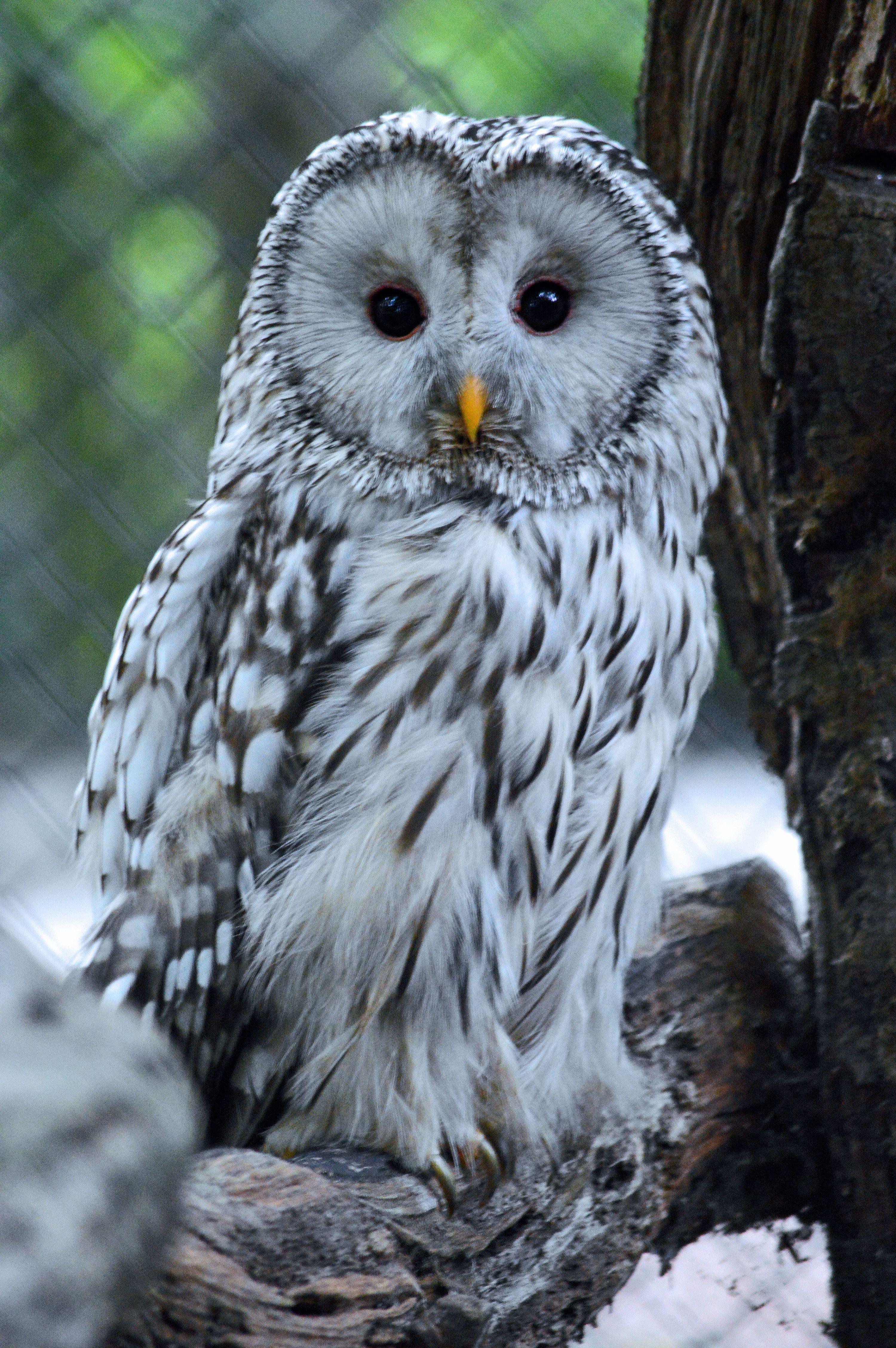 Ural Owl | OWLS that hoot! | Owl, Owl bird, Baby owls