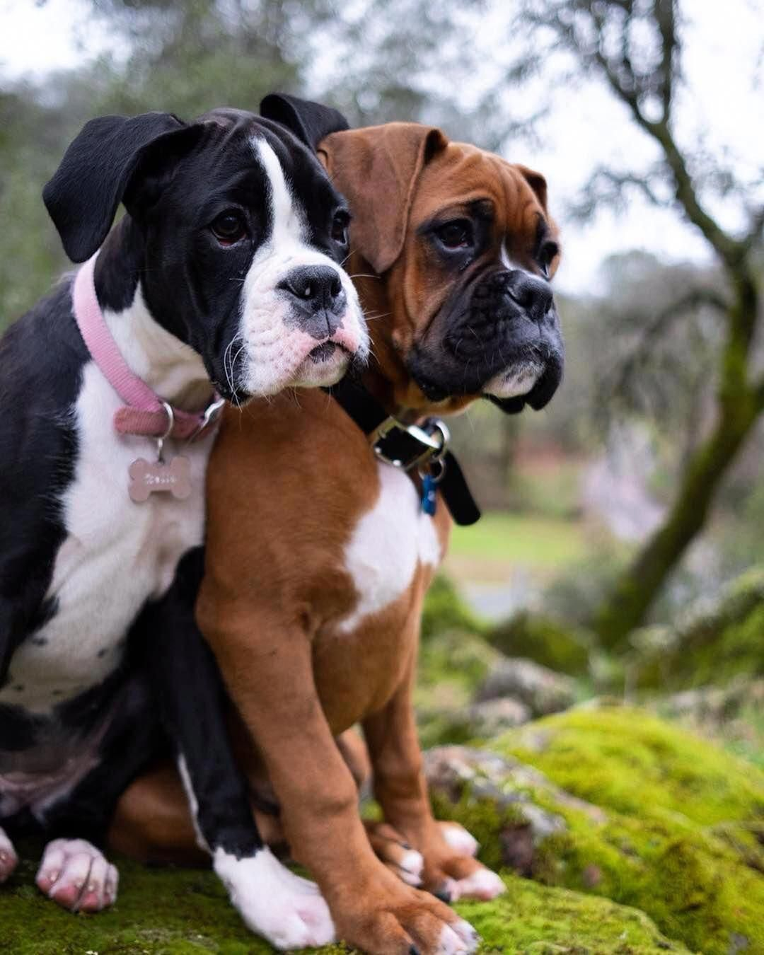 Things We All Like About The Bright Boxer Boxerdogfans Boxerdogface Boxerdogsfunny Boxer Dogs Brindle Boxer Dogs Boxer Puppies