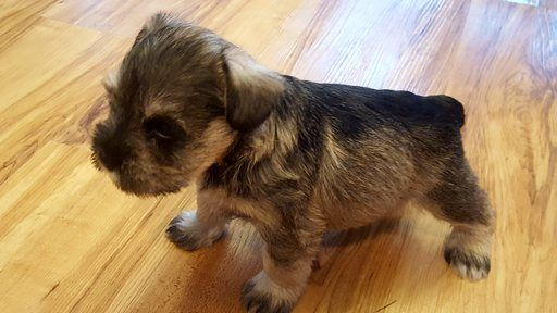Litter Of 5 Schnauzer Miniature Puppies For Sale In Stedman Nc